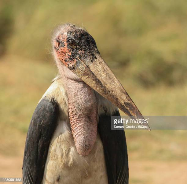 close-up of bird on field - marabout photos et images de collection
