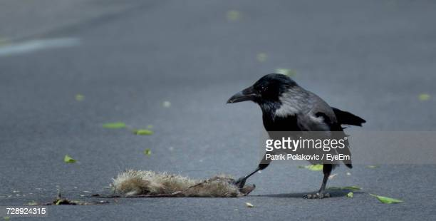 close-up of bird on road - dead raven stock photos and pictures