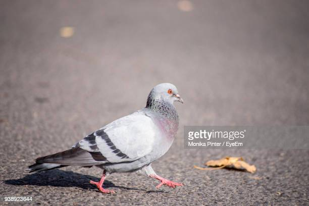 close-up of bird on road - pigeon stock pictures, royalty-free photos & images