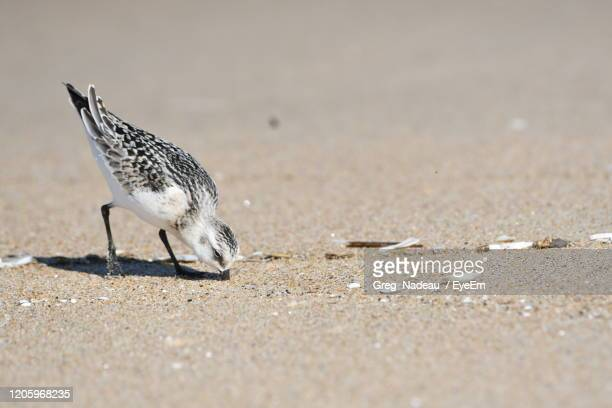 close-up of  bird on sand. - greg nadeau stock pictures, royalty-free photos & images