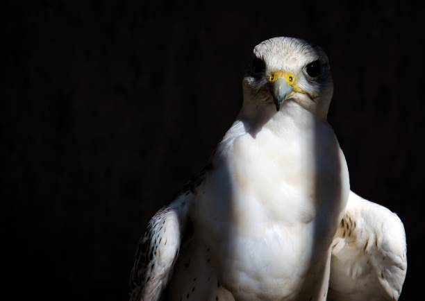 Close-Up Of Bird Perching Against Black Background, Durbuy, Belgium