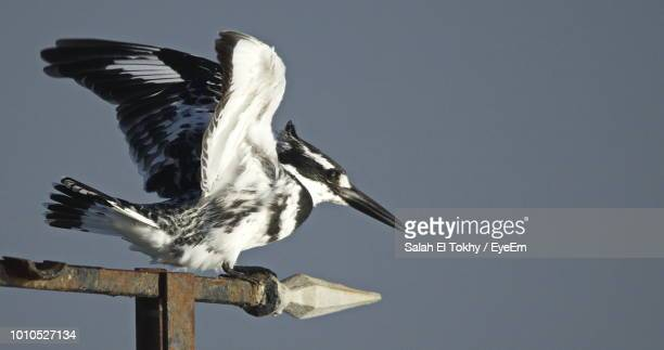 close-up of bird perching against clear sky - salah stock photos and pictures