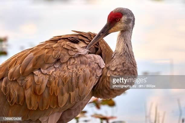 close-up of bird perching against lake, south lyon, united states - カナダヅル ストックフォトと画像