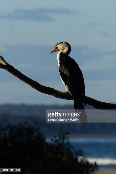 close-up of bird perching against sky - batemans bay stock pictures, royalty-free photos & images