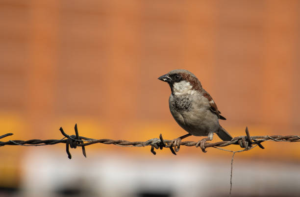 Close-up of bird perching on barbed wire,DLF Dilshad Extention II,India