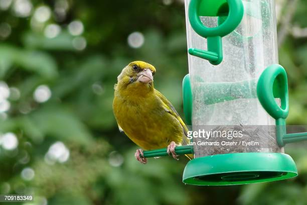 close-up of bird perching on bird feeder - yellow perch stock photos and pictures