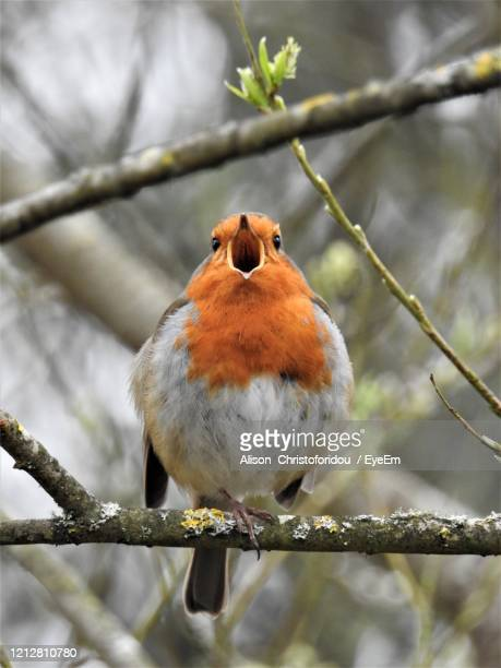 close-up of bird perching on branch - birdsong stock pictures, royalty-free photos & images