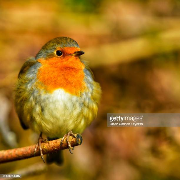 close-up of bird perching on branch - perching stock pictures, royalty-free photos & images