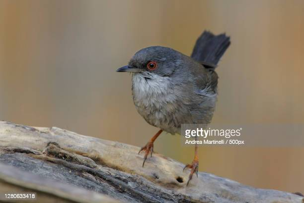 close-up of bird perching on branch,acilia,italy - martinelli stock pictures, royalty-free photos & images
