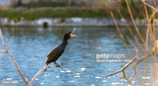 close-up of bird perching on branch,dietikon,switzerland - gerold guggenbuehl stock-fotos und bilder