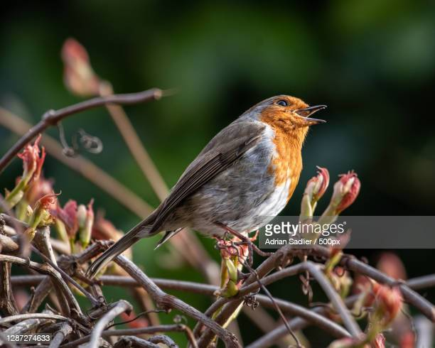 close-up of bird perching on branch,dublin,ireland - perching stock pictures, royalty-free photos & images