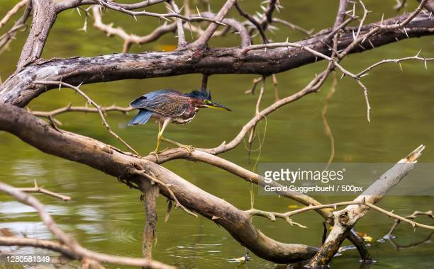 close-up of bird perching on branch,playas del coco,provinz guanacaste,costa rica - gerold guggenbuehl stock-fotos und bilder