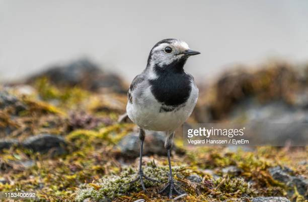 close-up of bird perching on field - vegard hanssen stock pictures, royalty-free photos & images
