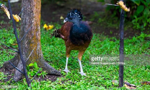 close-up of bird perching on field,provinz alajuela,la fortuna,costa rica - gerold guggenbuehl stock-fotos und bilder