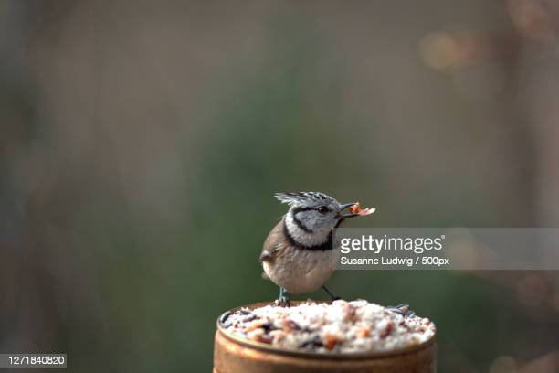close-up of bird perching on food, tbingen, germany - susanne ludwig stock pictures, royalty-free photos & images