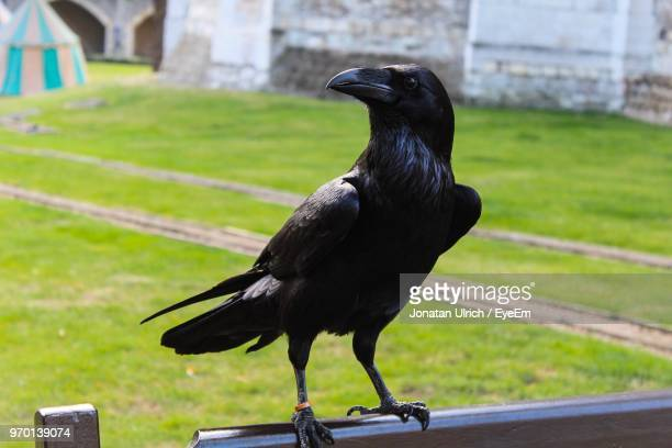 close-up of bird perching on grass - crow bird stock photos and pictures
