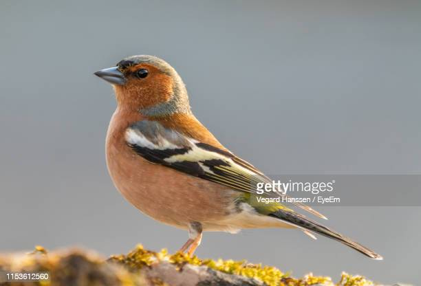 close-up of bird perching on grassy field - vegard hanssen stock pictures, royalty-free photos & images