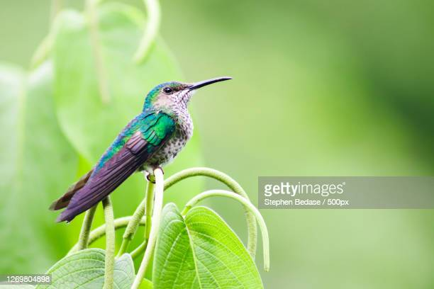 close-up of bird perching on plant, arima, trinidad and tobago - trinidad and tobago stock pictures, royalty-free photos & images