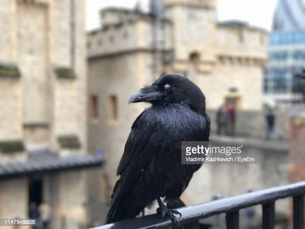 close-up of bird perching on railing against buildings - tower of london stock pictures, royalty-free photos & images