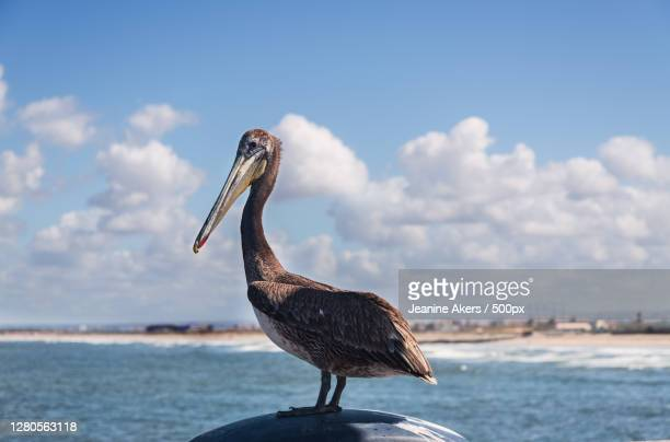 close-up of bird perching on rock against sea, imperial beach, california, united states - western usa stock pictures, royalty-free photos & images