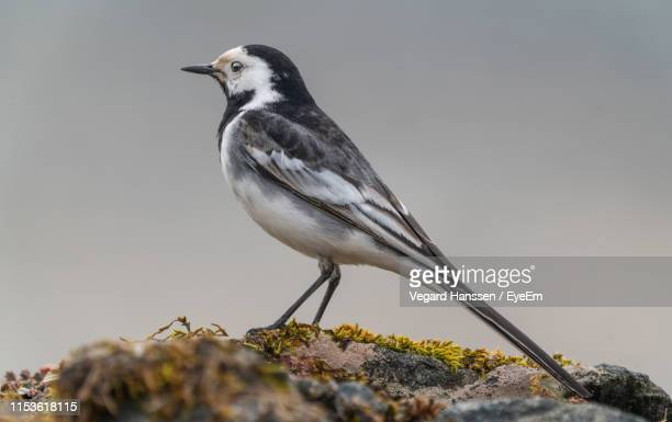 close-up of bird perching on rock - vegard hanssen stock pictures, royalty-free photos & images