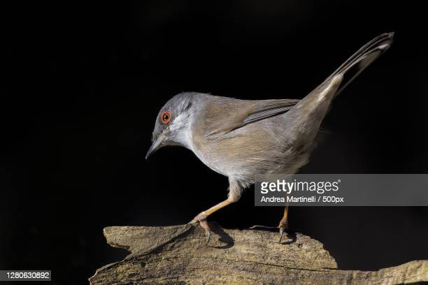 close-up of bird perching on rock - martinelli stock pictures, royalty-free photos & images