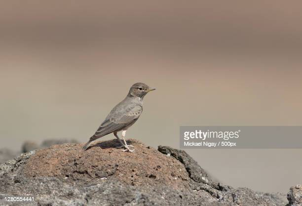 close-up of bird perching on rock,djibouti - djibouti stock pictures, royalty-free photos & images