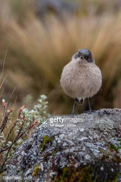 close-up of bird perching on rock,meru county,kenya - meru filme stock-fotos und bilder