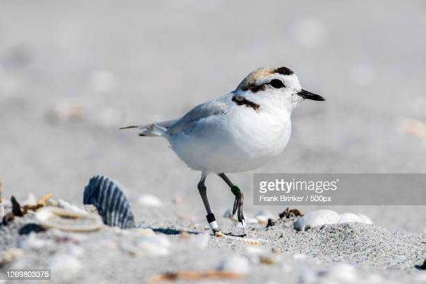 close-up of bird perching on sand, saint james city, united states - kentish plover stock pictures, royalty-free photos & images