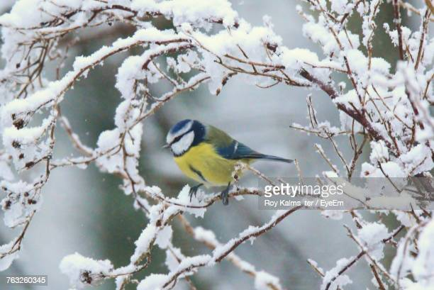 close-up of bird perching on tree during winter - bluetit stock photos and pictures
