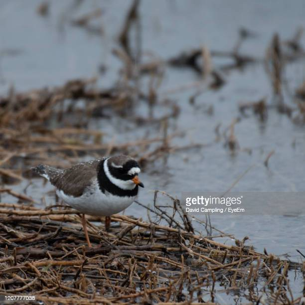 close-up of bird perching on twig - kentish plover stock pictures, royalty-free photos & images