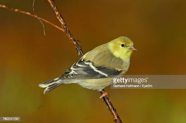 close-up of bird perching on twig - american goldfinch stock pictures, royalty-free photos & images