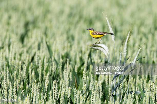 Close-Up Of Bird Perching On Wheat Plant