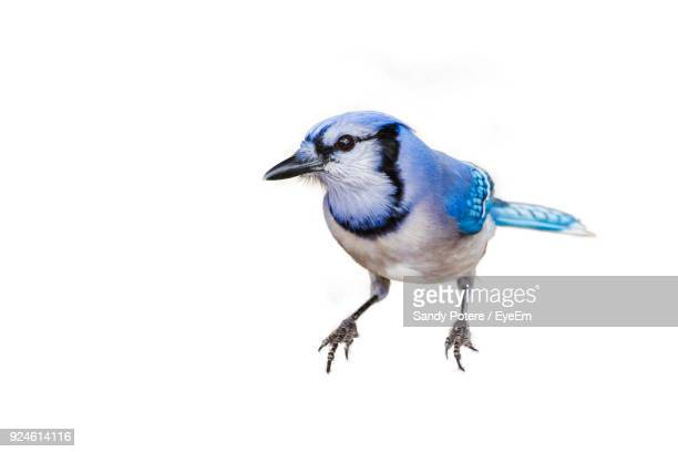 close-up of bird perching on white background - bird stock photos and pictures