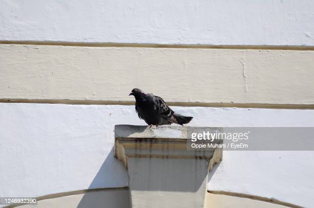 close-up of bird perching on white wall - oppie muharti stock pictures, royalty-free photos & images