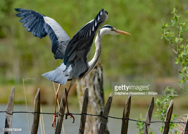 close-up of bird perching on wooden post, sarrebourg, france - lorraine stock pictures, royalty-free photos & images