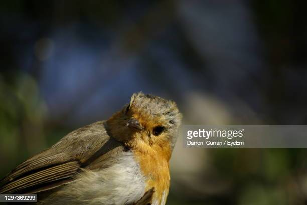 close-up of bird perching outdoors - curran stock pictures, royalty-free photos & images