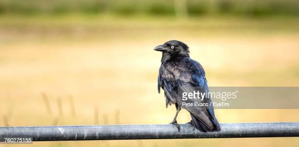 close-up of bird perching outdoors - ravens stock photos and pictures