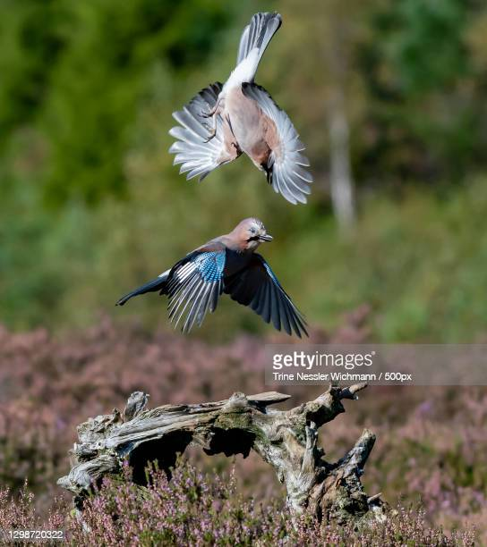 close-up of birds flying over field,marnardal kommune,lindesnes,norway - images stock pictures, royalty-free photos & images