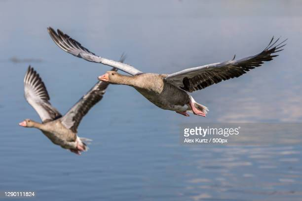 close-up of birds flying over lake - グレイグース ストックフォトと画像