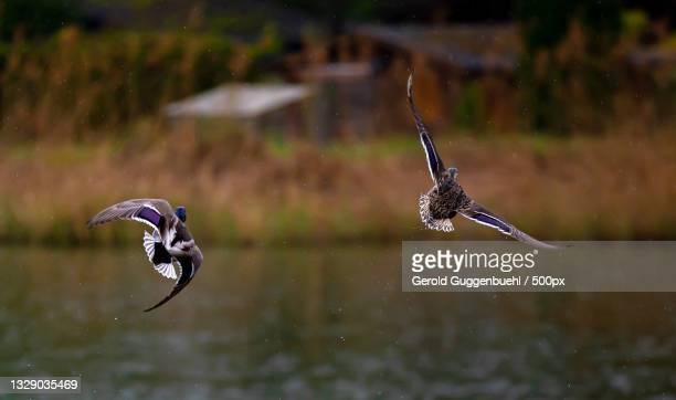 close-up of birds flying over lake,dietikon,switzerland - gerold guggenbuehl stock-fotos und bilder