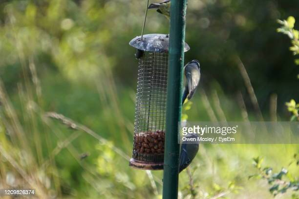 close-up of birds hanging on metal in field - carlisle stock pictures, royalty-free photos & images