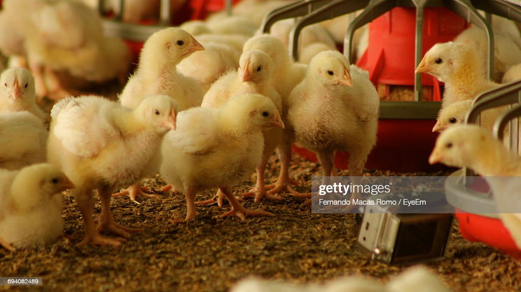 Close-Up Of Birds In Cage : Stock Photo