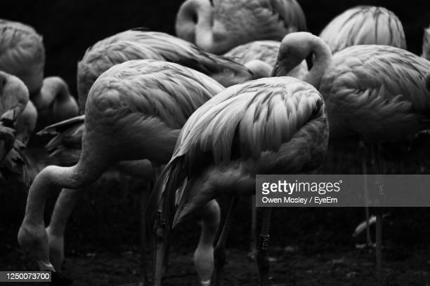 close-up of birds on field - medium group of animals stock pictures, royalty-free photos & images