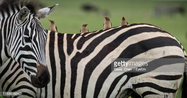 close-up of birds on zebra - ngorongoro conservation area stock pictures, royalty-free photos & images