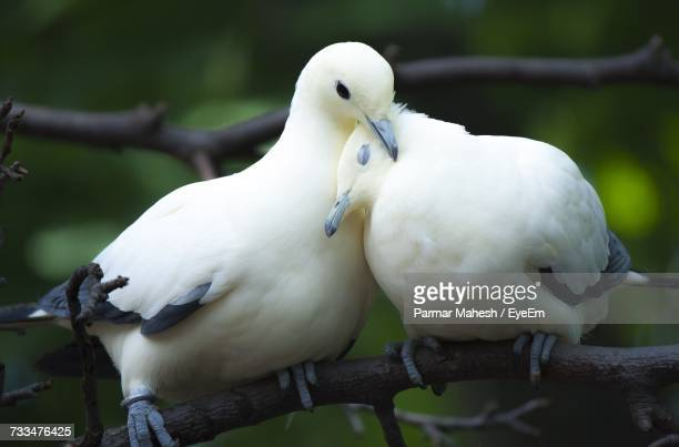 close-up of birds perching on branch - dove bird stock photos and pictures