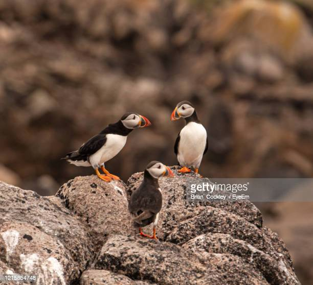 close-up of birds perching on rock - isles of scilly stock pictures, royalty-free photos & images