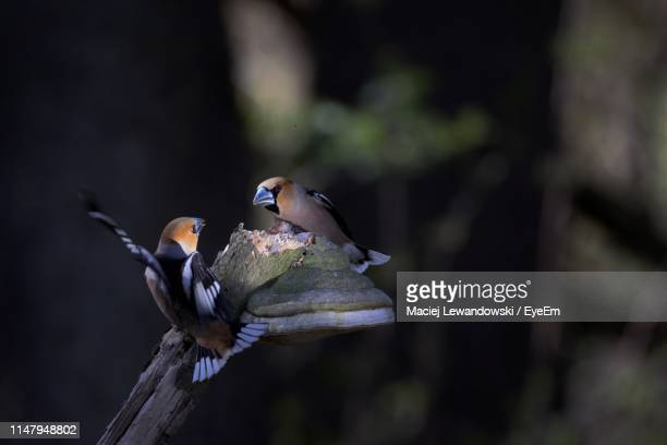 close-up of birds perching on tree - lewandowski stock photos and pictures