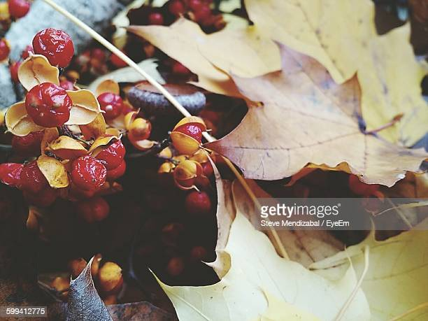 close-up of bittersweet berries on field during autumn - bittersweet berry stock photos and pictures