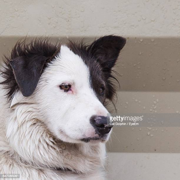 Close-Up Of Black And White Dog Looking Away Outdoors